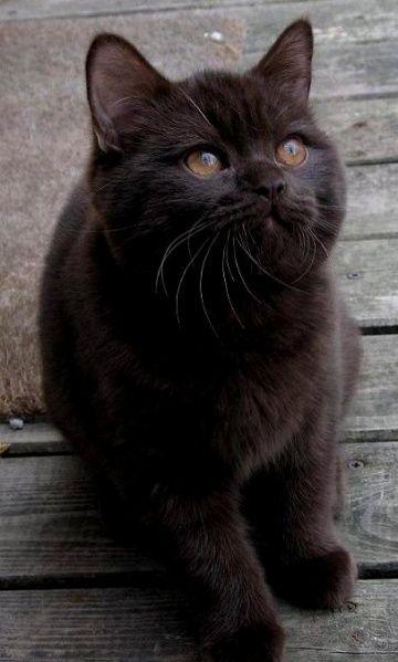 Black British Shorthair Cats And Kittens Kittens Cute Animals