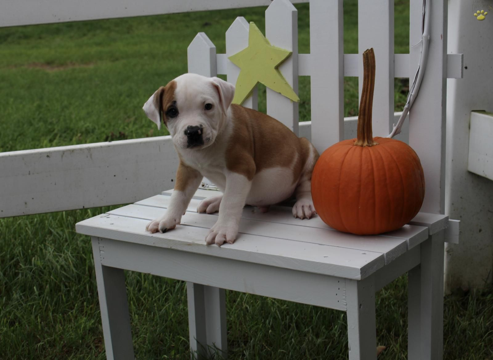 Lance American Bulldog Puppy For Sale In Ephrata Pa Lancaster Puppies American Bulldog Puppies Lancaster Puppies American Bulldog