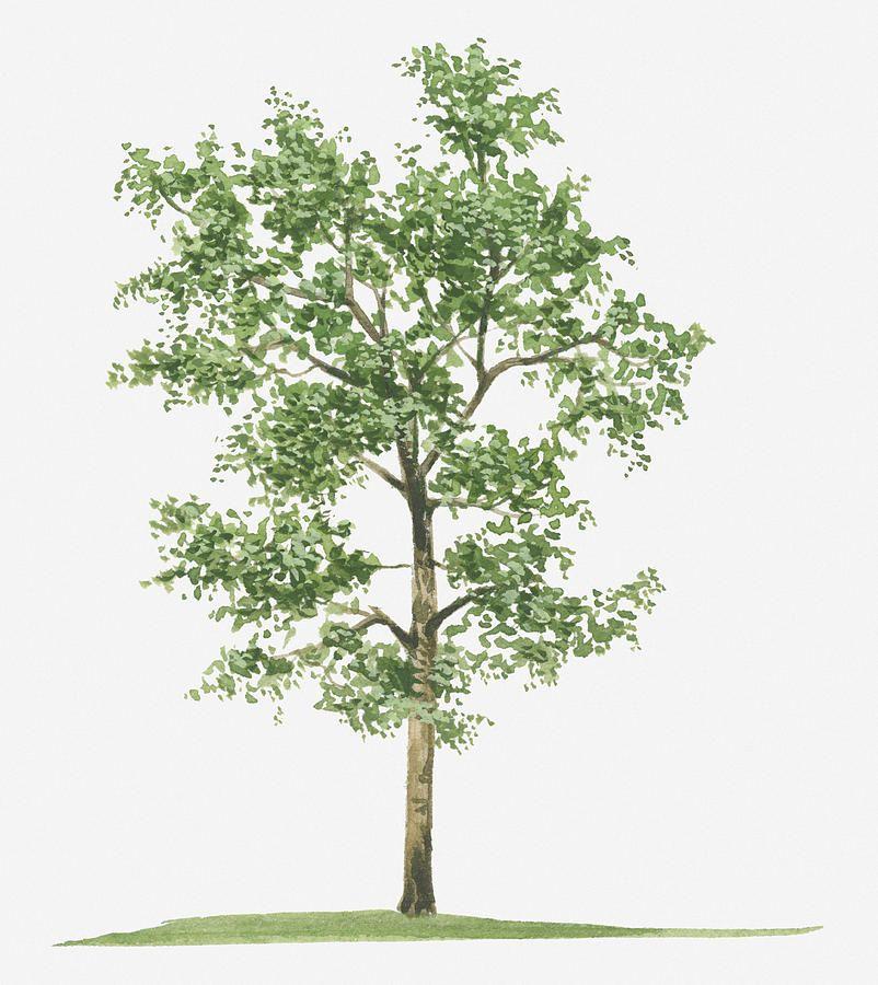 Illustration Of Pterocarpus Santalinus Red Sandalwood Evergreen Tree By Tim Hayward Evergreen Trees Red Sandalwood Tree Jackfruit Tree