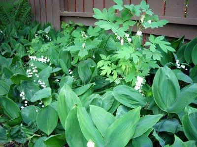 Dicentra Spectabilis Alba Bleeding Heart Edmonton Zone 3 Shade Plants Shade Garden Plants