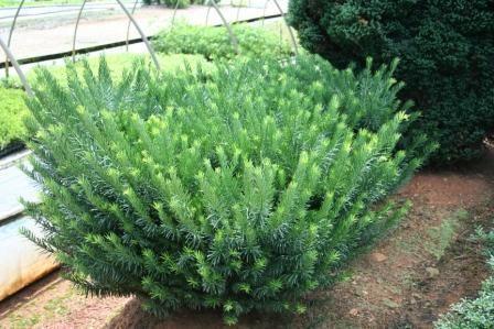 Image result for difference between plum yew duke gardens and drupacea gary pinterest duke for Duke gardens plum yew