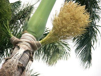 How To Grow Royal Palm Tree Seeds Backyard Plants