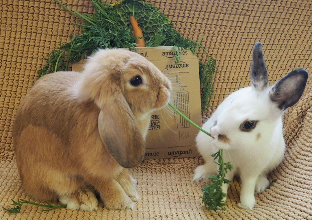 Unboxing Amazon Prime Rabbit Rabbits Pet Pets Lop Lapin Kanin Kaninchen Hase Bunny Bunnies Cute Cutebunny Fluffy Belier Conejoenano R Coelho