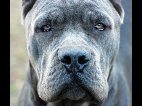 Cane Corso Pup Cute Dogs Breeds Corso Dog Cane Corso Dog