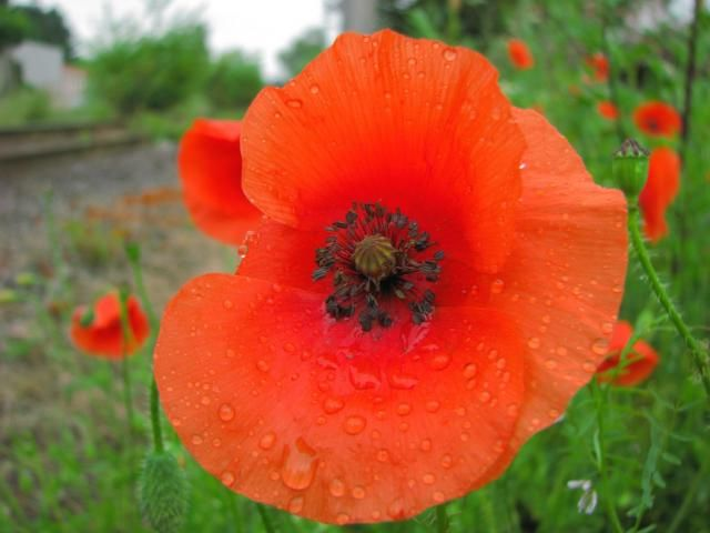 Poppy flower google search maci poppies mak flowers poppy flower google search mightylinksfo Choice Image