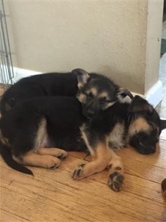 German Shepherd Puppies Puppies And Dogs For Sale Pets Classified