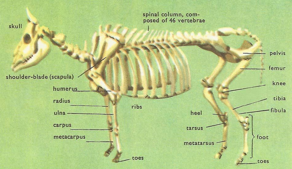 anatomy of the cow   Skeletal system anatomy, Hd images, CowPinterest