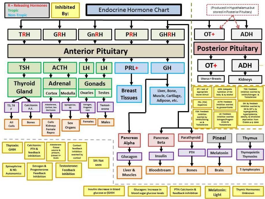 endocrine hormones