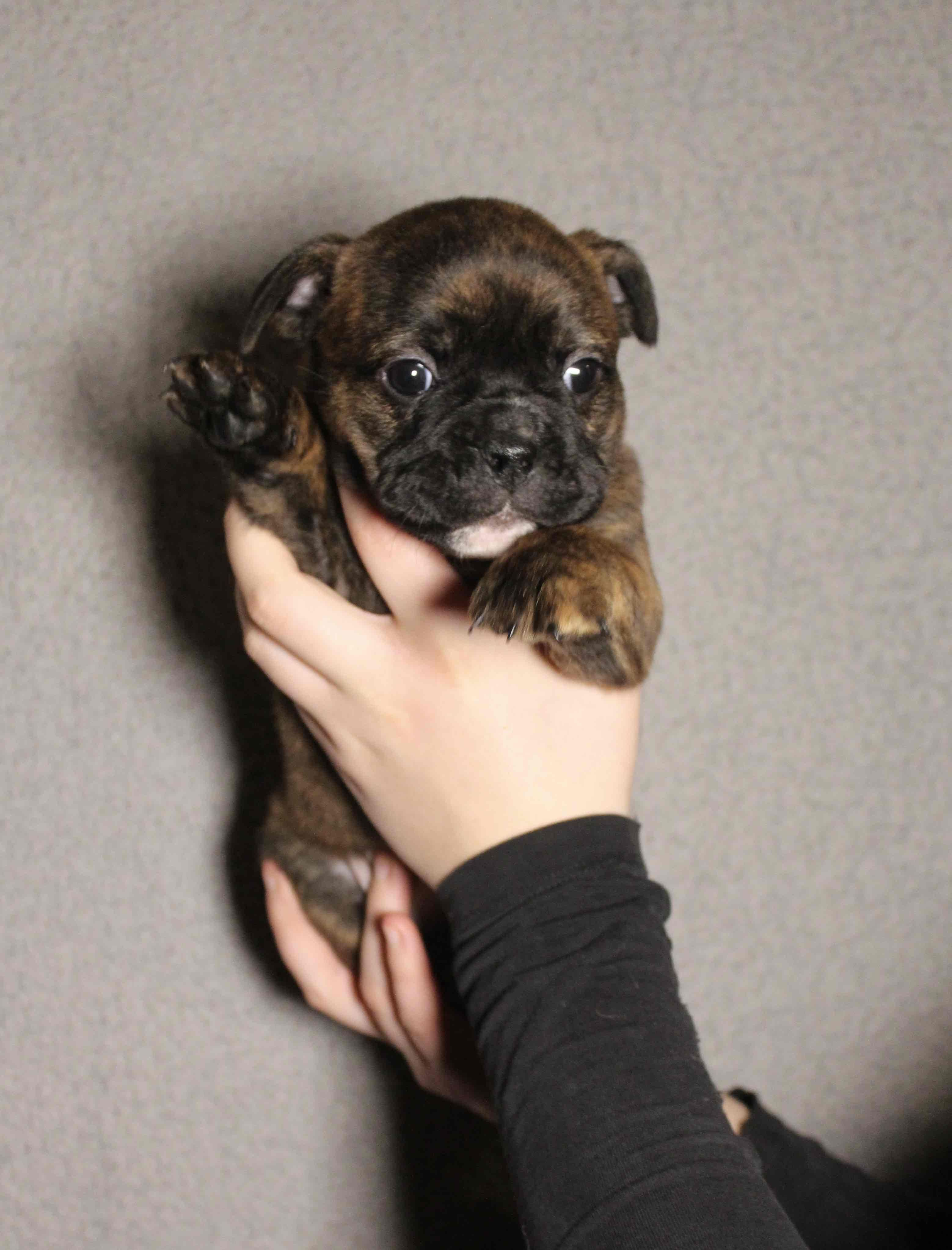 Ap Yra Moves To Her New Family In 3 Weeks Continental Bulldog Hunde Welpen