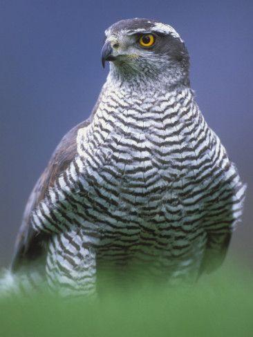 Northern Goshawk, Male Close-Up, Scotland