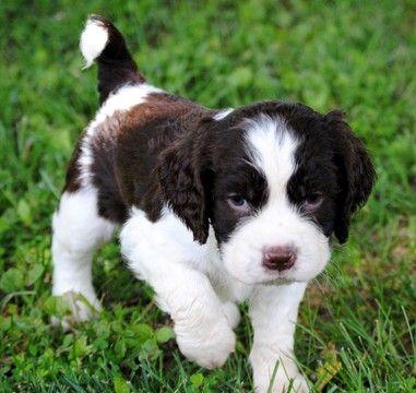 English Springer Spaniel Puppy For Sale In Simpsonville Sc Adn 34305 On Puppyfinder Spaniel Puppies For Sale Cocker Spaniel Puppies Springer Spaniel Puppies