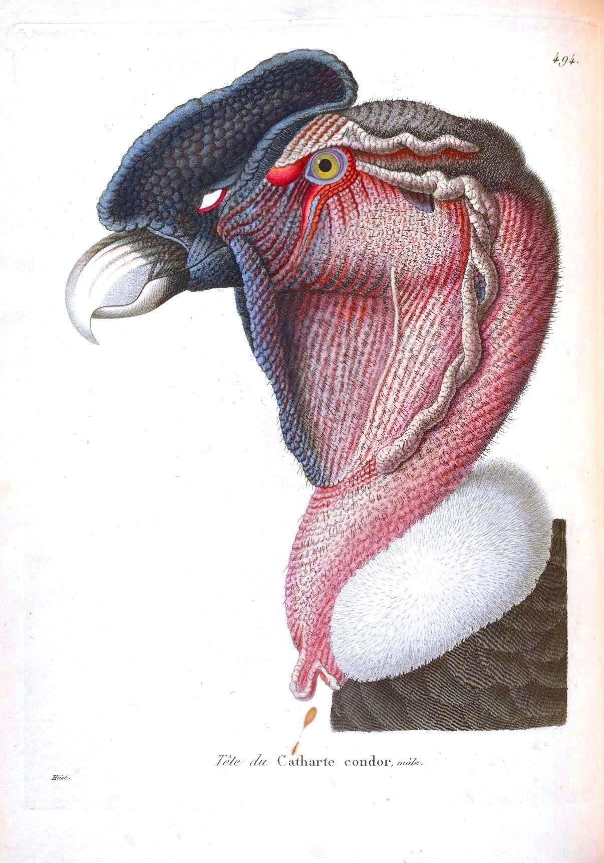Animal Animal Head Bird Tete De Condor Looks Sort Of Like A