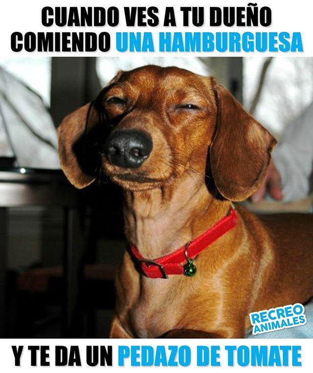 Egoista Charlatan Deberia Darte Verguenza Publicar En Redes Sociales Que Me Quieres Mucho Hamburguesa Pe Dachshund Divertido Memes Perros Perros Graciosos