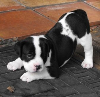 Bullador puppy at 5 weeks old. (English Bulldog / Labrador