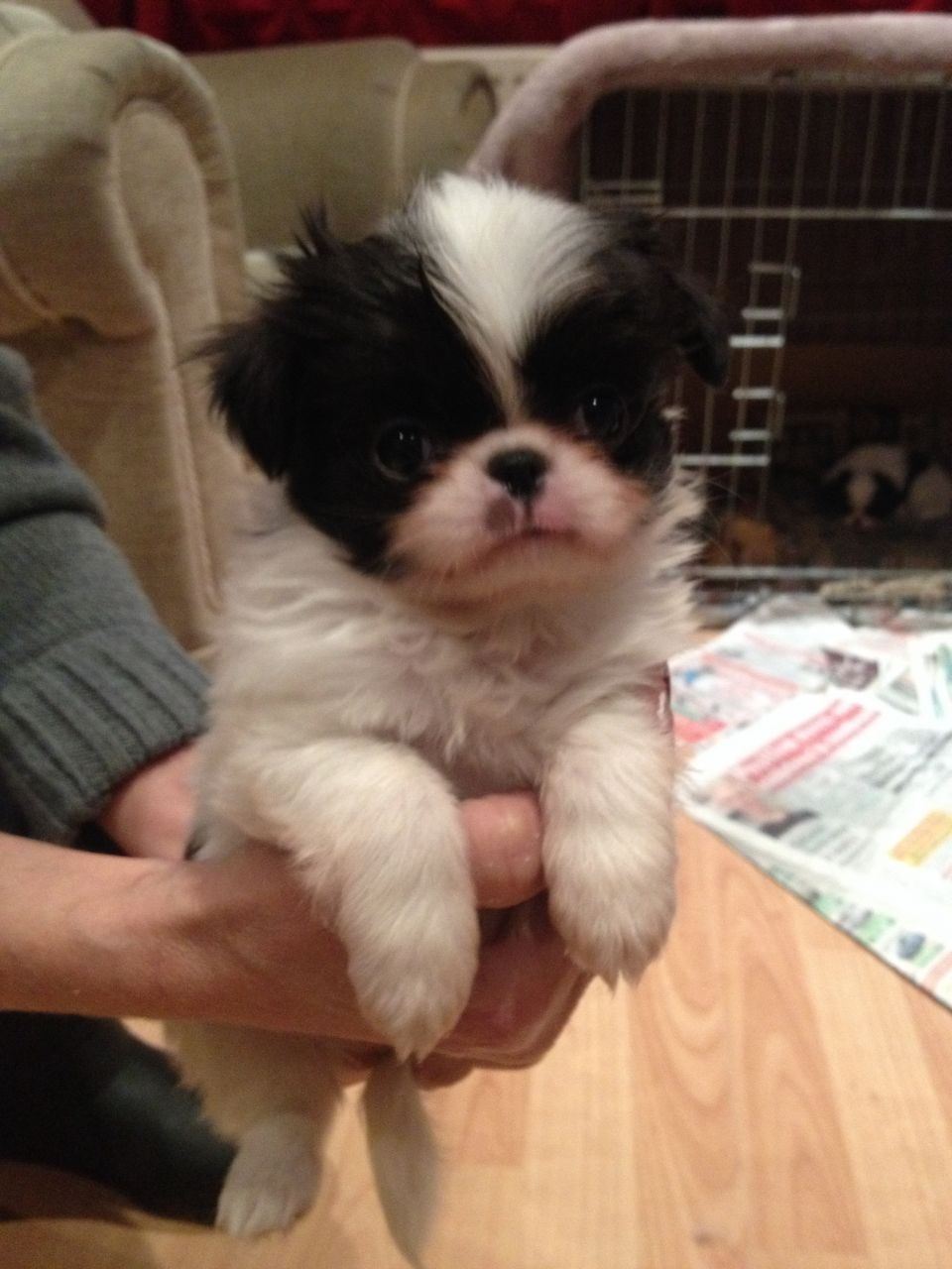 Japanese Chin Puppies For Sale 750 Posted 16 Days Ago For