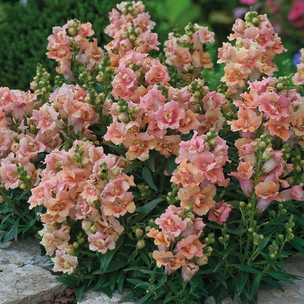 Twinny Peach snapdragon Antirrhinum, Annual flowers