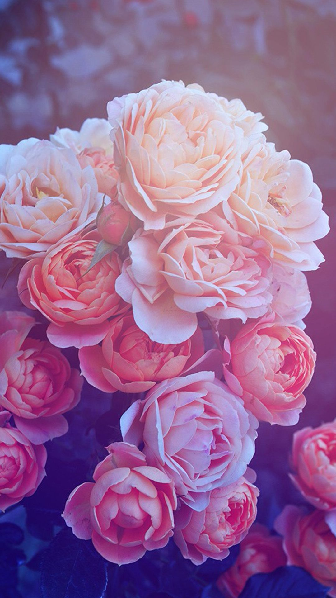 Pink Galaxy Iphone Wallpaper Beautiful Pink Roses Hd Wallpaper