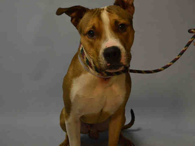 KING BABY - A1061785 - - Brooklyn TO BE DESTROYED 01/06/16 **NEEDS NEW HOPE RESCUE** Almost everything about King Baby is moderate; he is an average weight of 51-pounds and he's in his early/middle years at about 3-years of age. King Baby is yet another victim of his family's dastardly move to housing that doesn't allow his kind. KB is reported to be a friendly fellow who behaves appropriately around children, however he sure was afraid of the old temperament assesso