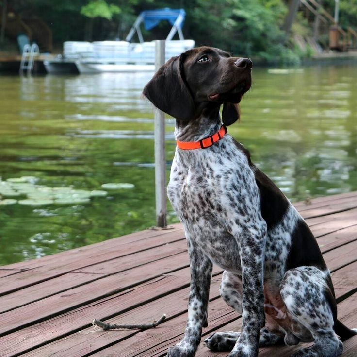 Pin by Cheryl S. Smith on German Shorthaired Pointer
