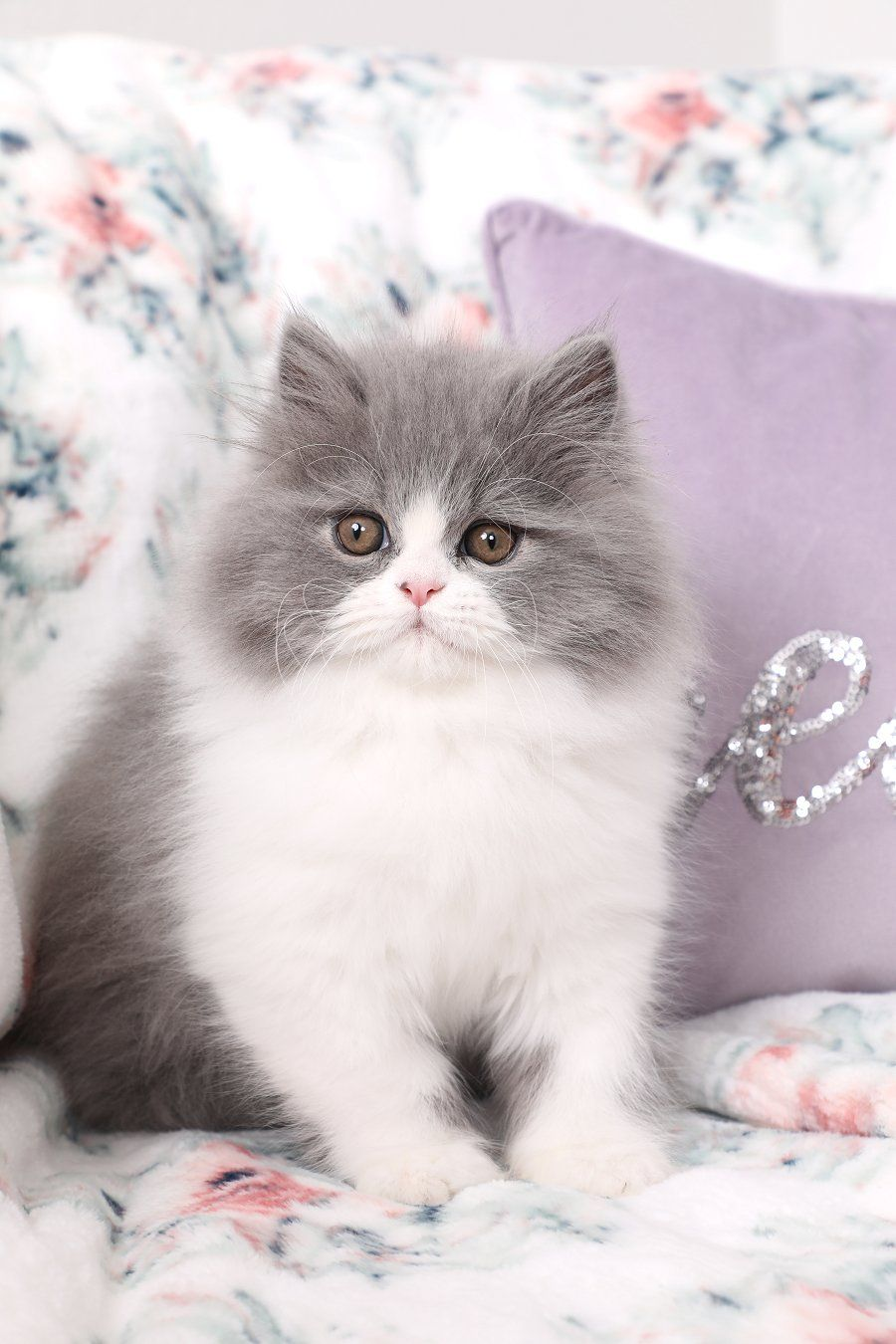 Persian Kittens For Sale Downy Persian cat, Cats