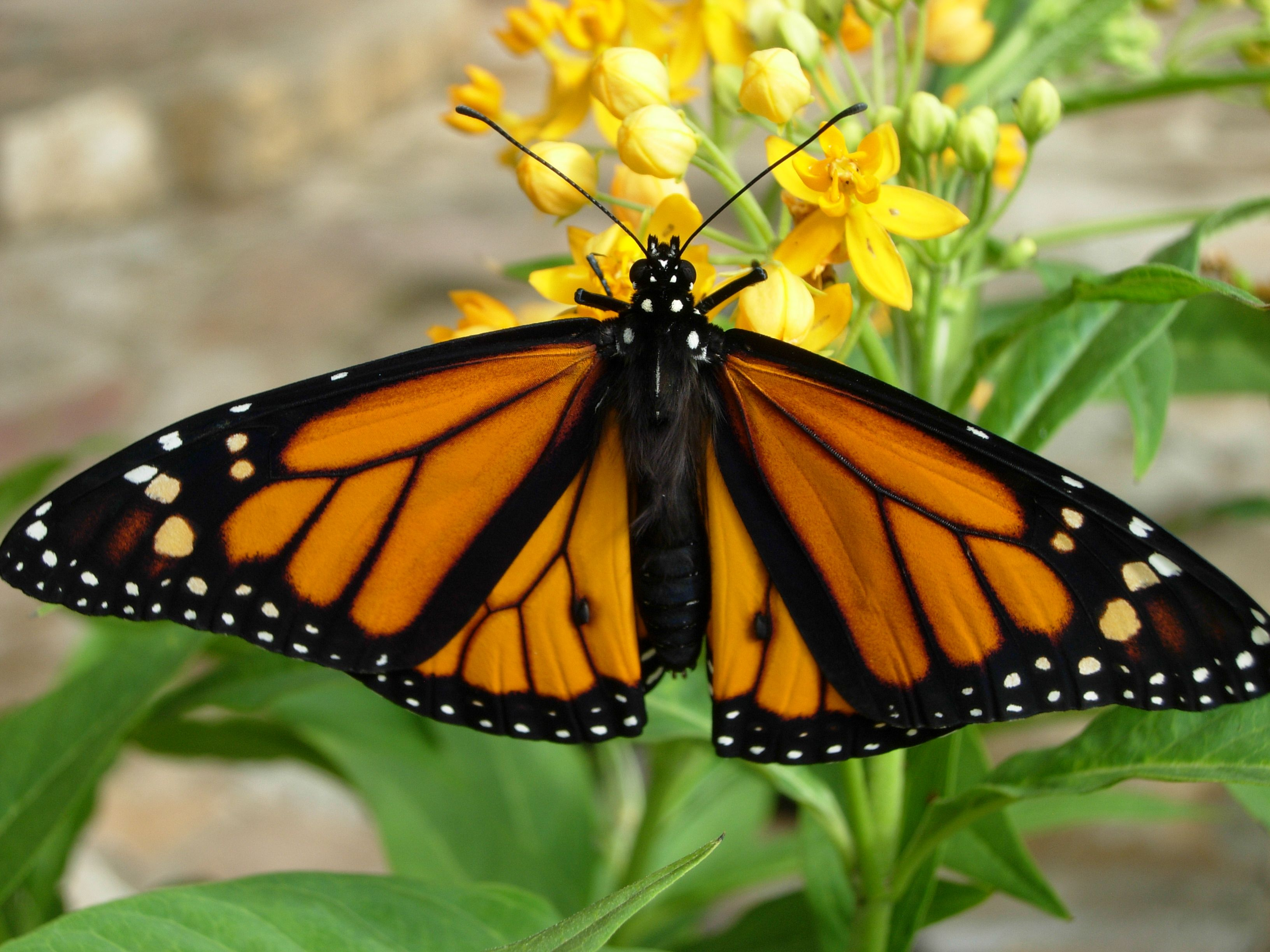 How To Tag Monarch Butterflies A Timely Question As Peak