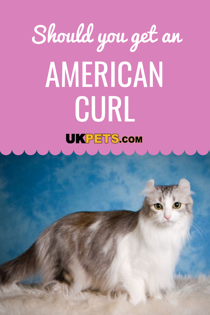 American Curl Cat Breed Information Uk Pets American Curl Cat Breeds Cats Cast