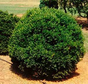 Types of shrubs picture of littleleaf boxwood buxus for Types of bushes for landscaping
