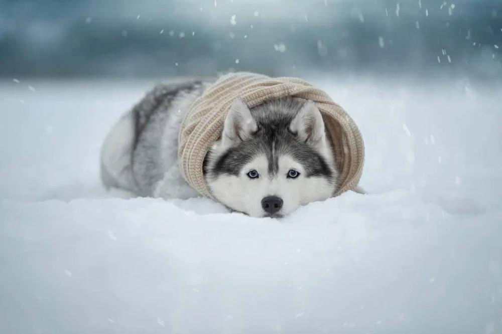 Chien Husky Neige Snow Husky Dog Voyage Onirique Chien Husky Fond D Ecran Chien Chien De Neige
