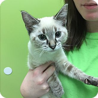 Pictures Of Morgan A Siamese For Adoption In Hibbing Mn Who Needs A Loving Home Kitten Adoption Pet Adoption Siamese Kittens