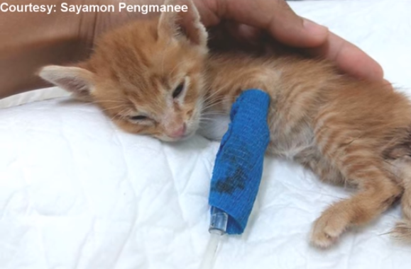 Stray Ginger Kitten Abandoned Found In Woods Alone In Saddest Condition But Then Brought Back To Life With Images Kittens Ginger Kitten Fur Babies
