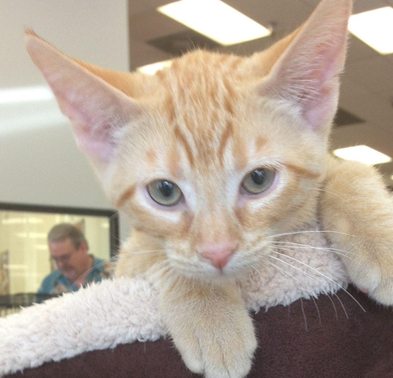 Bailey Is A Spunky 4 Month Old Short Haired Orange Tabby Kitten He Is Neutered Vaccinated And Ready Tabby Kitten Orange Animal Welfare League Tabby Kitten