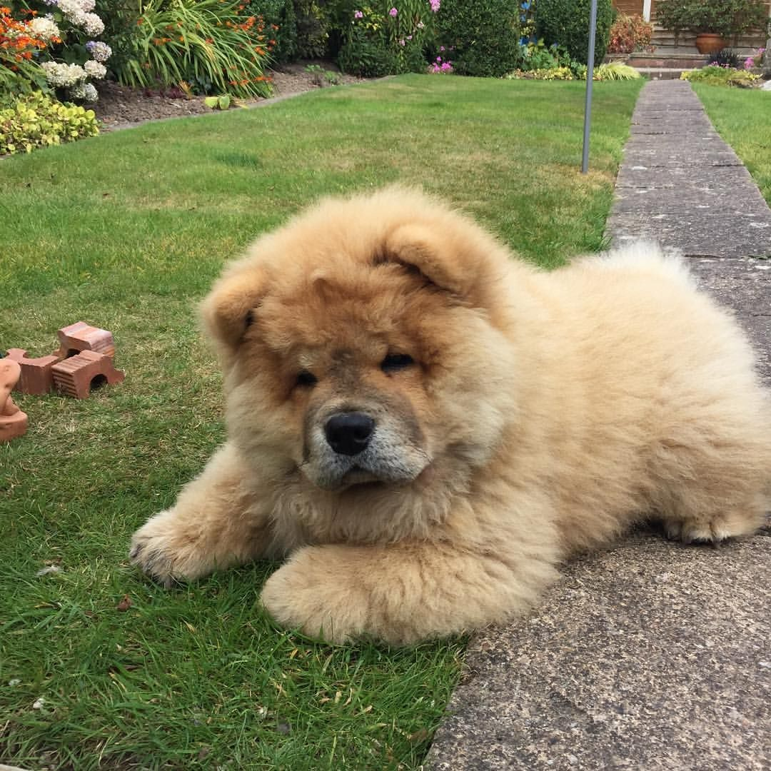 Chow Chow Fluffy Dogs Chow Chow Puppy Dogs