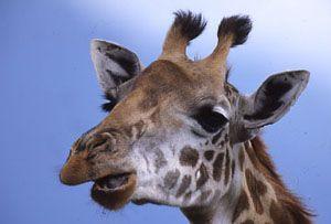 Afrika Tiere: Afrikas Tiere :: GORUMA
