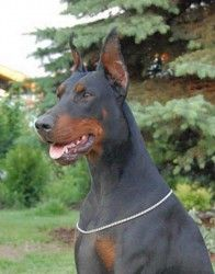 What a stud!! Prince is so beautiful #doberman