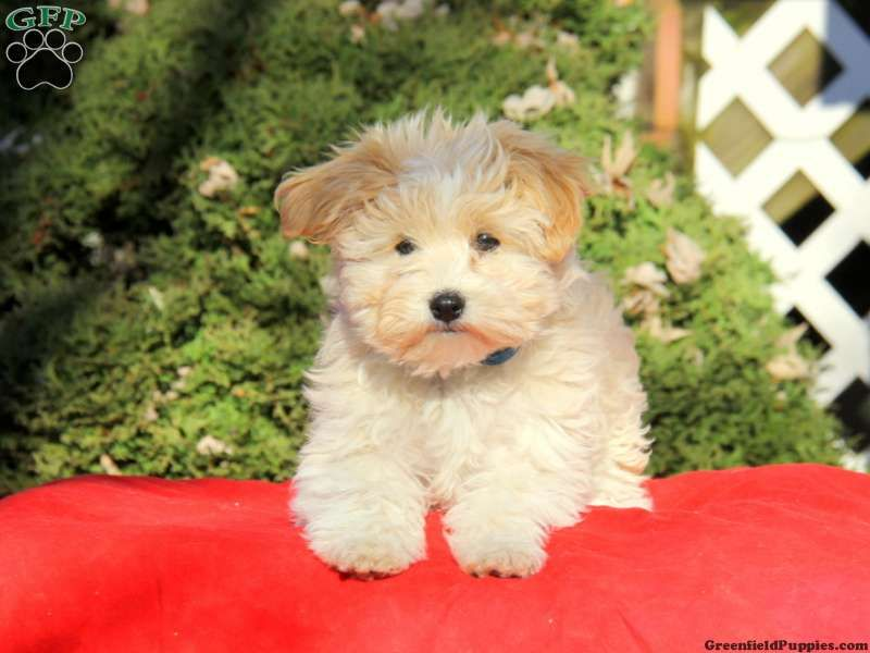 Frisky havanese puppy for sale in new holland pa