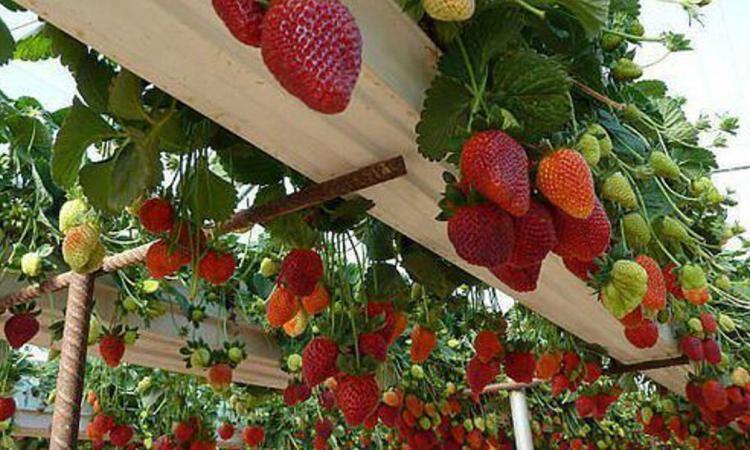 9 incroyables fa ons de faire pousser les fraises la. Black Bedroom Furniture Sets. Home Design Ideas