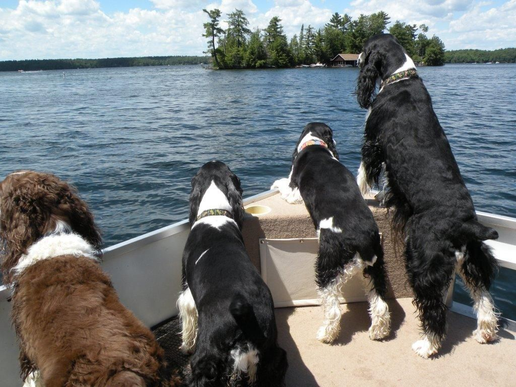More Boating At The Cottage English Springer Spaniel Springer Spaniel English Springer