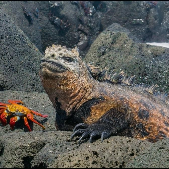 The marine iguanathe reptile of the sea  Esben loved the marine iguanas  The marine iguana is a species of iguana found only on the Galápagos Islands that has the ability to swim in the sea. This iguana feeds almost exclusively on algae and large males dive to find this food source while females and smaller males feed during... #Beach #Crab #Ecuador #Galapagos #Iguanas #Landiguanas #Marineiguanas #Ocean #Sallylightfoot #Sallylightfootcrab http://ift.tt/2zE0VQL