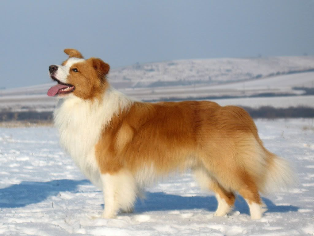 Red Border Collie He Looks Just Like My Lil Freckles Animales Y Mascotas Animales Mascotas