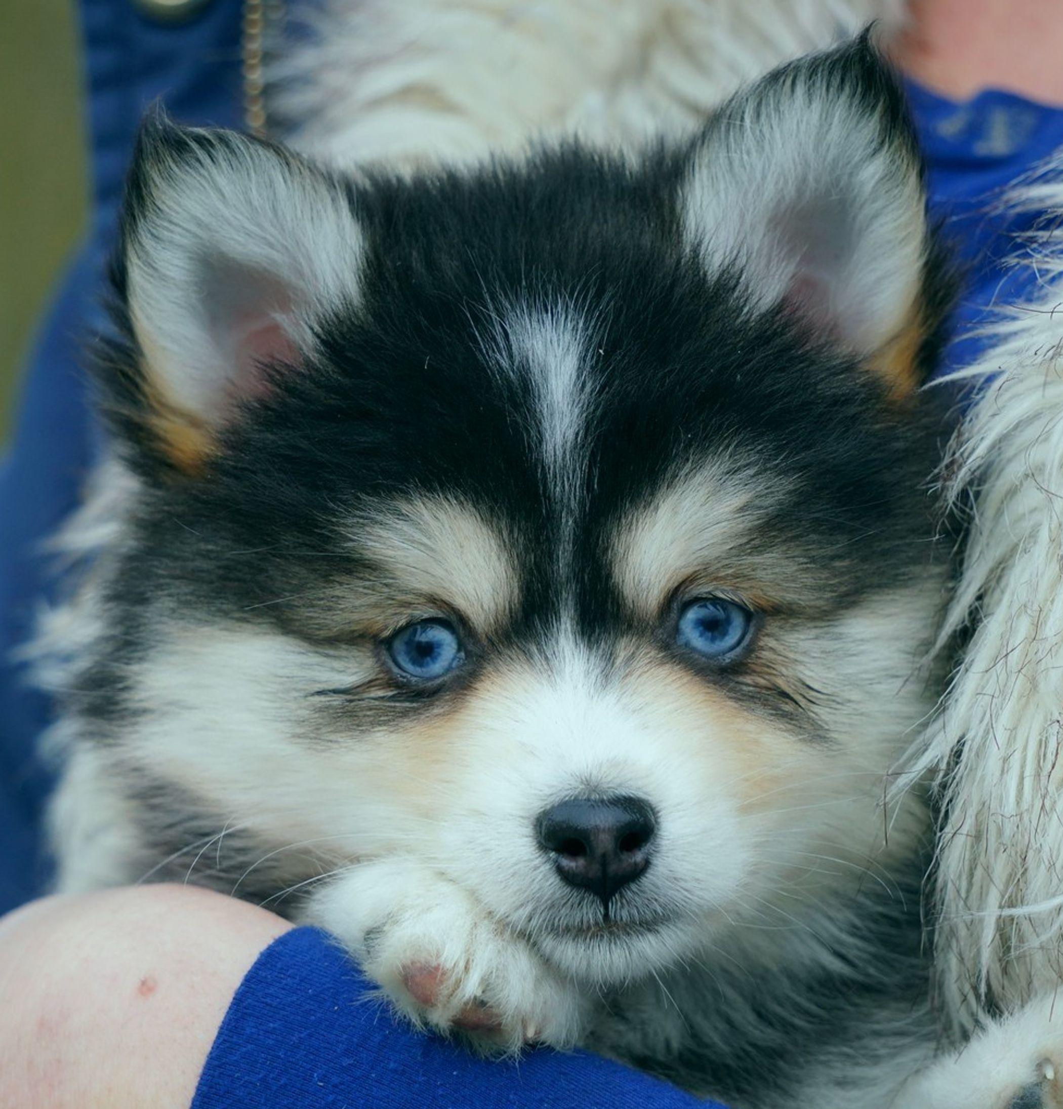 Huskies And Pomskies Blue German Shepherd