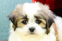 Buy Or Adopt A Puppy Breed On Premier Pup Shichon Puppies Teddy Bear Puppies Sheep Dog Puppy