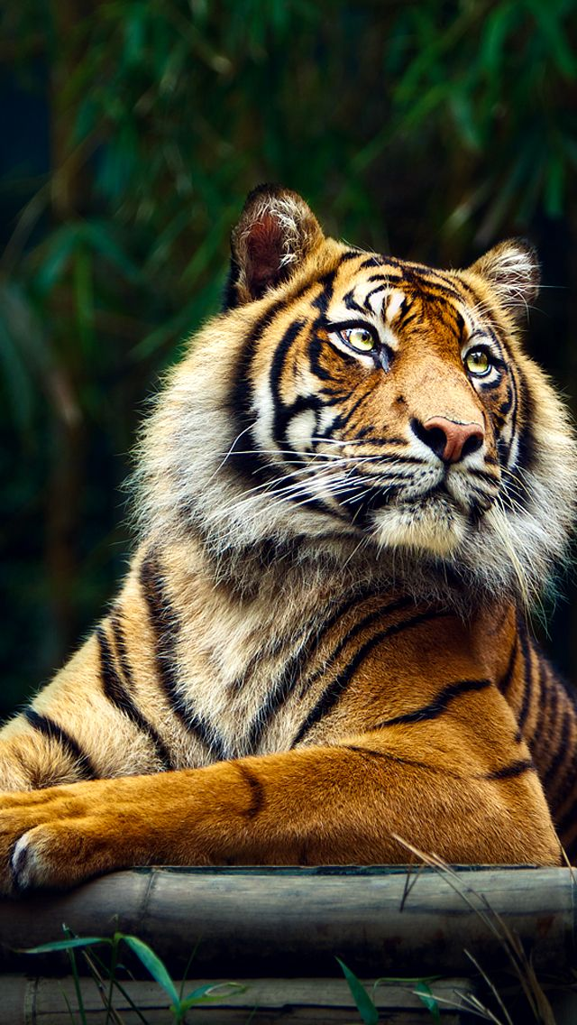 Tiger in jungle Best iPhone 5s wallpapers Tiger
