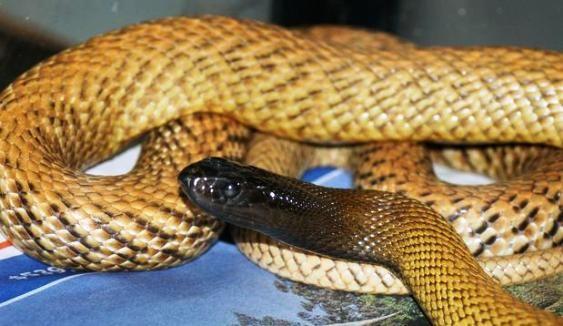 Cobras Nao Venenosas Especies E Nomes Cobras Serpente Animais