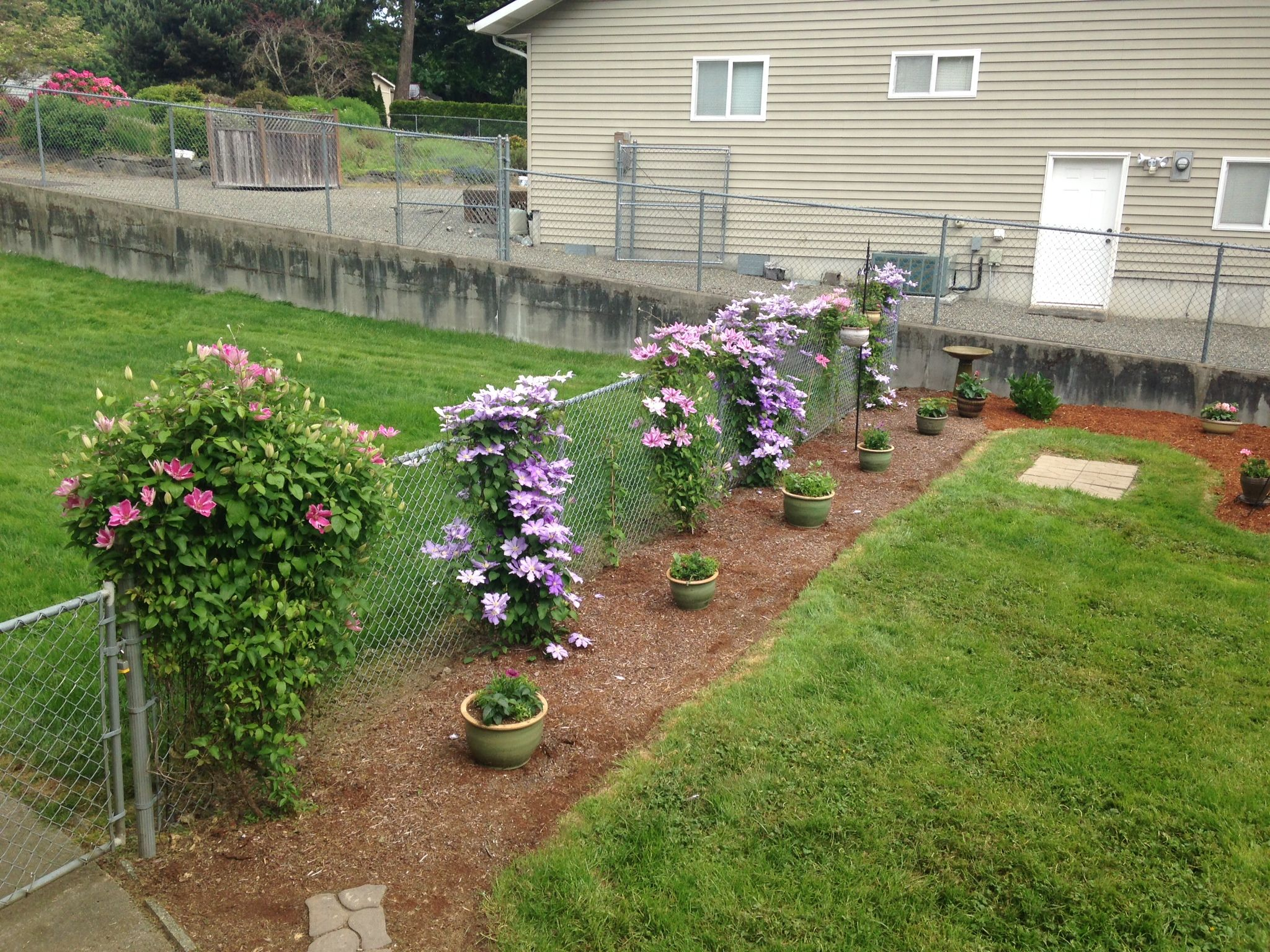 You can use Clematis to hide an ugly chain link fence. #clematis ...