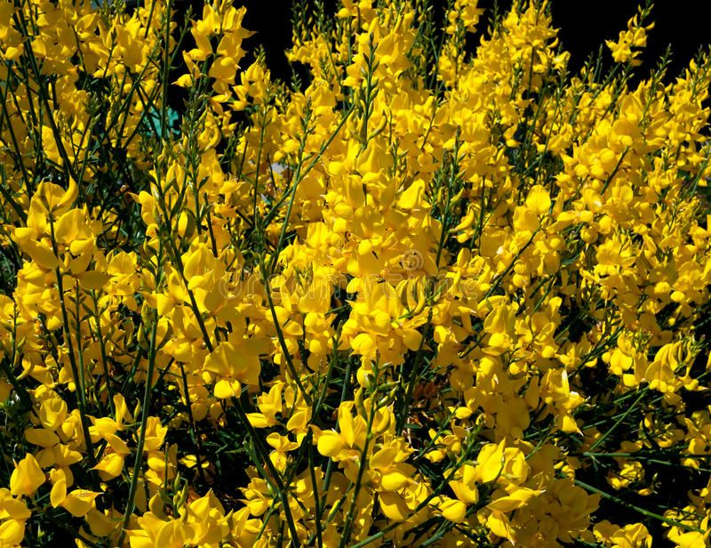 Broom Yellow Broom Grows Like Wildfire Aff Yellow Broom Broom Wildfire Grows Ad Poster Design Inspiration Nature Images Photo