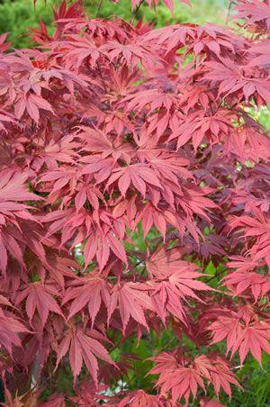 Japanischer Ahorn - Pflege, Schneiden & Vermehren #grabbepflanzungherbst
