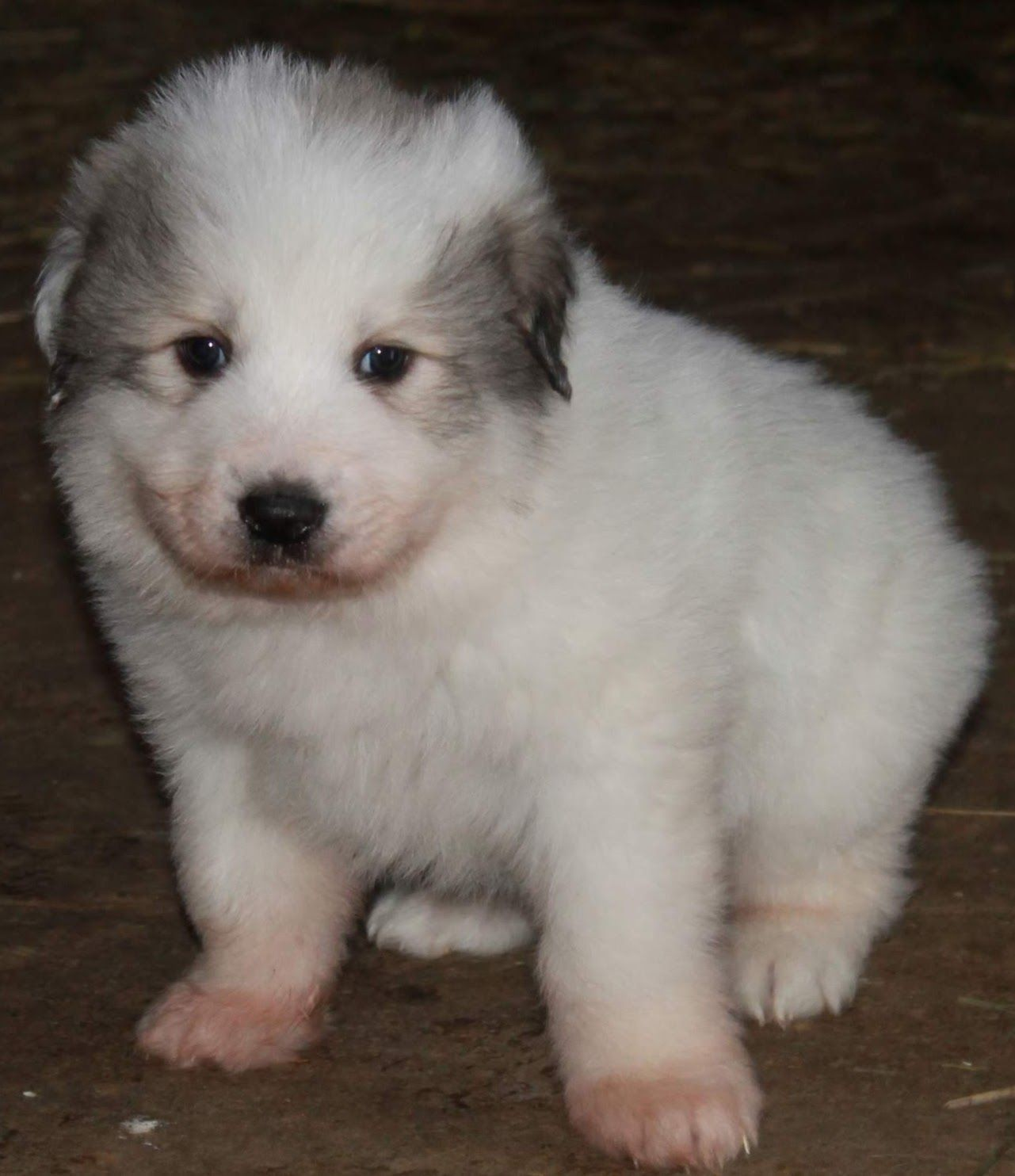 Pin By Vip Puppies Animals Dogs On Puppies For Sale In 2020