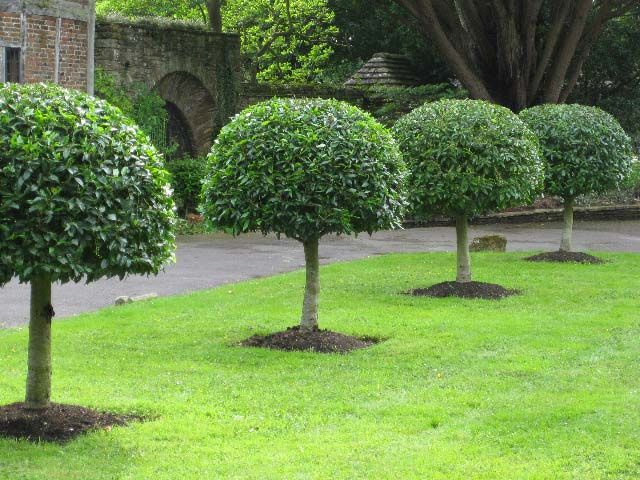 Prunus lusitanica portuguese laurel standards garden for Laurel de jardin
