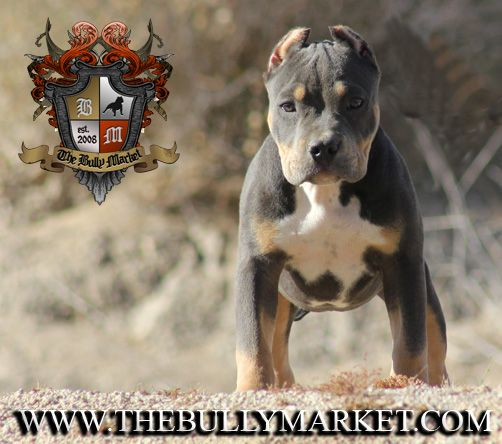 Pin On Our American Bully Dogs Pitbull Amstaff And Bulldog