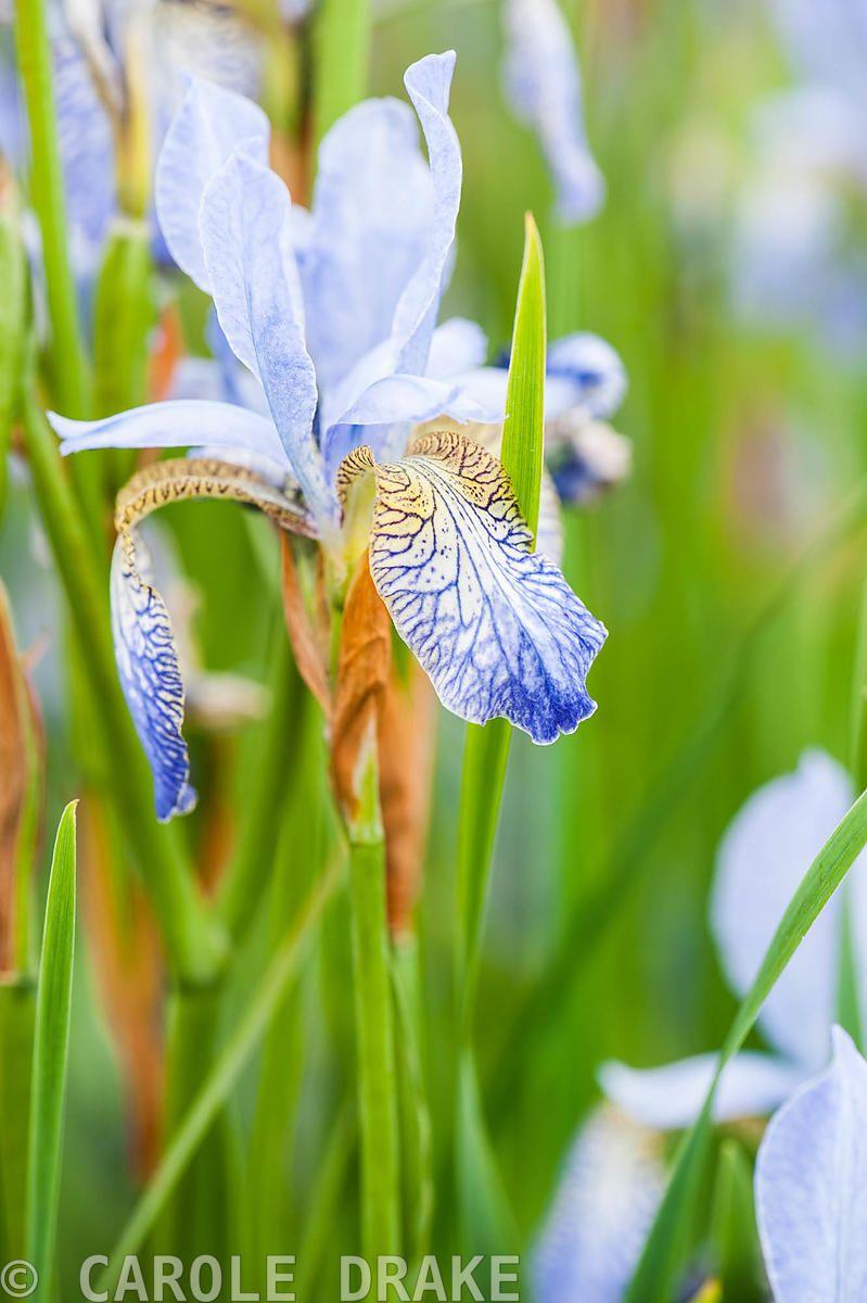 Iris Sibirica Papillon Aulden Farm Leominster Herefordshire Uk Garden Calendar Farm Herefordshire
